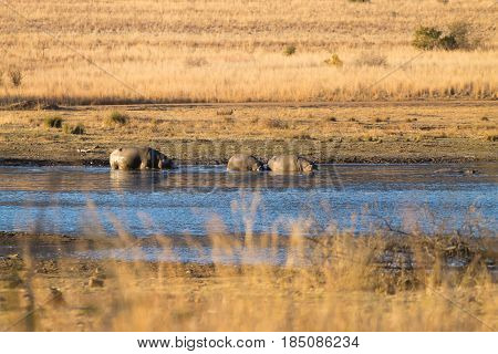 Herd Of Hippos, Pilanesberg National Park, South Africa
