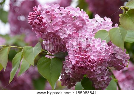 Close up of common lilac flowers in spring