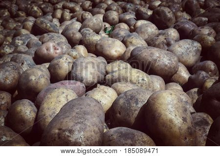 Many Fresh Organic Potatoes In The Field.