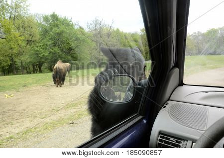 Brown Teddy bear clinging to the rearview mirror of a car