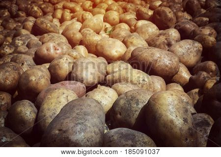 Fresh potato tubers closeup. Low-key lighting Many fresh organic potatoes in the field. Background of potatoes. Retro photo. poster
