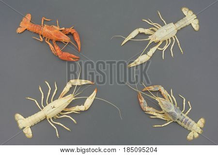 The remains of the crayfish molt isolated on gray background