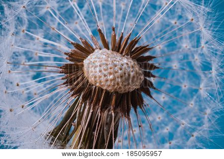 Close up shot of faded Dandelion in blue poster