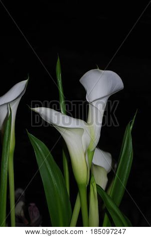 Garden with flowering white calla lilies in a garden.