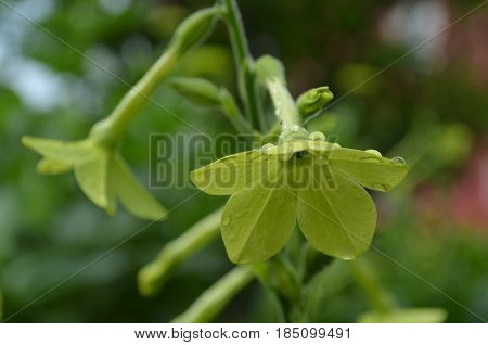 Pretty blooming green nicotiana plant flowering in a garden.