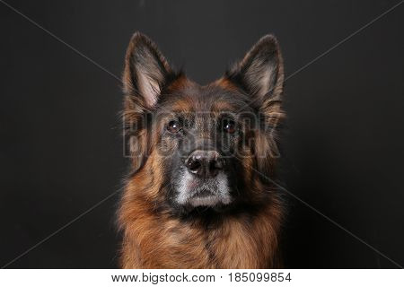 Long Haired German Shepherd Dog Alfie's Portrait on black poster