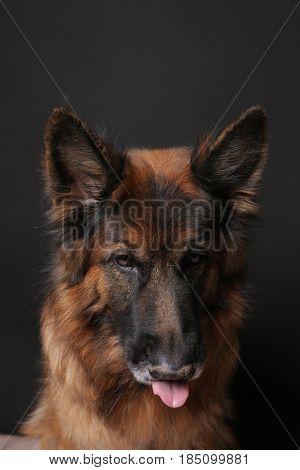 Long Haired German Shepherd Dog Alfie's Portrait on black