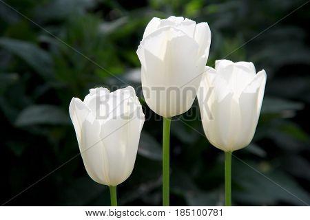 three white tulips in the garden. photo
