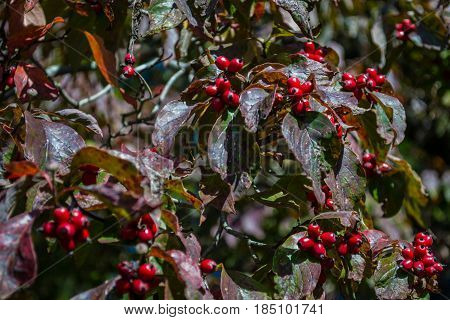 Hawthorn branch with berries in a pattern.