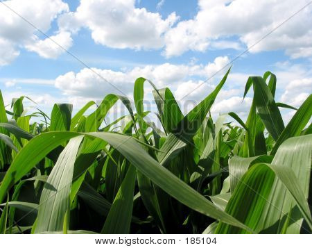 Blue Skies & Green Corn