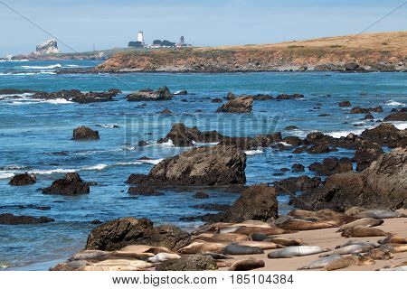 Elephant Seal Colony at Piedras Blancas lighthouse north of San Simeon on the Central Coast of California USA