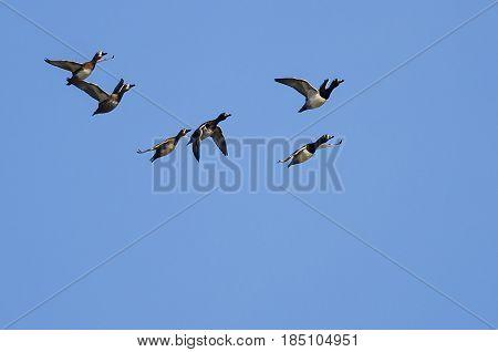 Flock of Ring-Necked Ducks Flying in a Blue Sky
