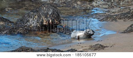 Young Baby Northern Elephant Seal at Piedras Blancas Elephant Seal colony on California Central Coast USA