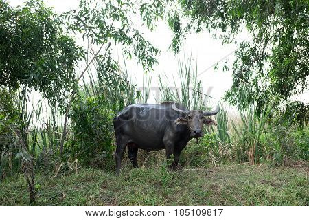 Buffalo Standing Alone On Grass Field Looking Of Front. Nature Are Background. This Image For Animal