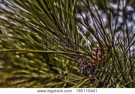 A close up photo of a pine cone also showing the pine needles.