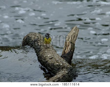 Grey wagtail perched on a tree branch in river