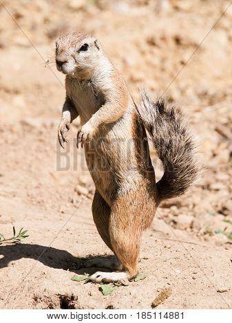 Cape ground squirrel - Xerus inauris - staying on back leg watch neighbourhood closely