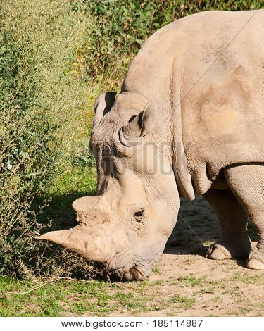Diceros bicornis - Black rhinocero critically endangered species in IUNC red list