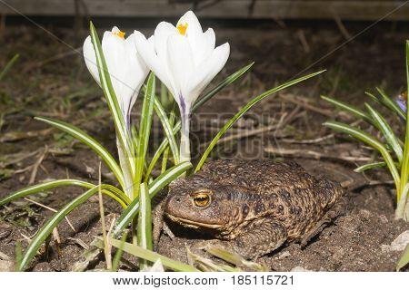 brown ground toad under the white flower of crocus
