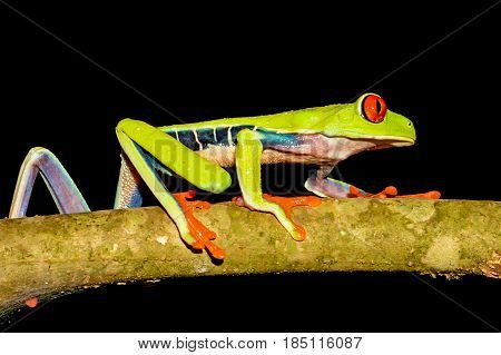 A close up of a Red-eyed Tree Frog climbing on a branch in Costa Rica