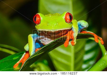 A close up of a Red-eyed Tree Frog climbing on a leaf in Costa Rica
