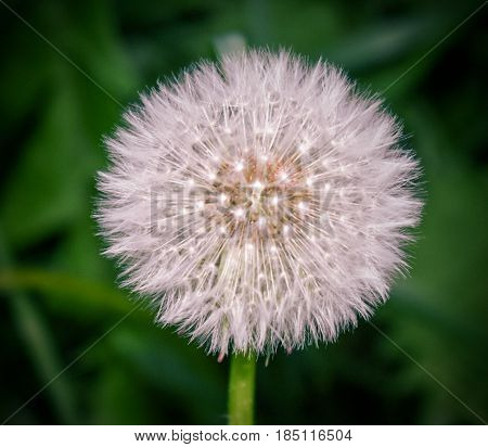 Dandelion waiting for the breeze to cast its seeds far and wide