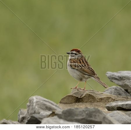 A Chipping Sparrow (Spizella passerine) sitting on a rock wall in Sharpsburg Maryland, USA, shown in left profile.