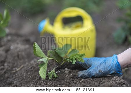 Woman Planting Strawberry Seedlings In The Field
