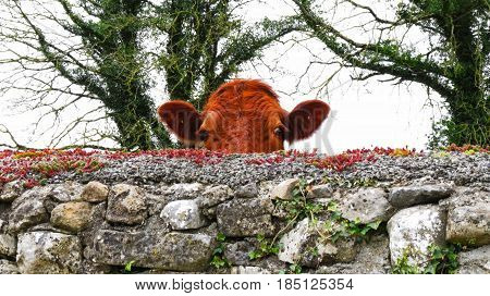 a cow peeking at me over a wall