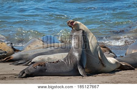 Northern Elephant Seals biting the neck while fighting in the Pacific at the Piedras Blancas Elephant seal colony on the Central Coast of California USA