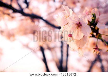 Beautiful malus halliana flower background in spring,2017