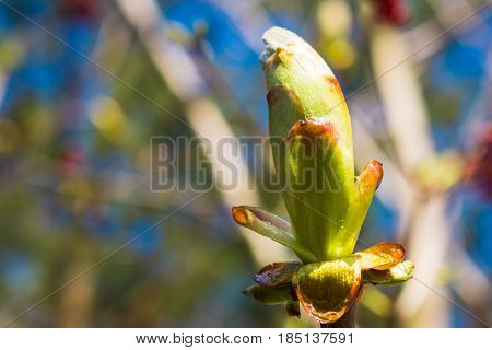 Blossom Buds Cluster On Twig Top Ready To Bloom,