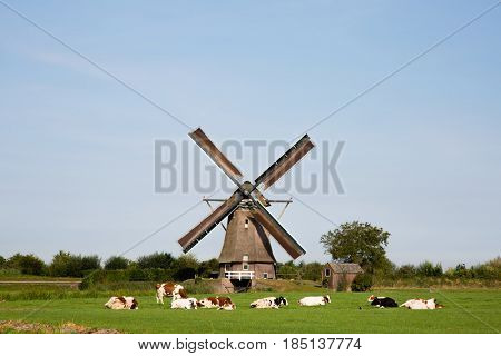 Dutch cows in the meadow near a traditional windmill in Vreeland, Utrecht, the Netherlands