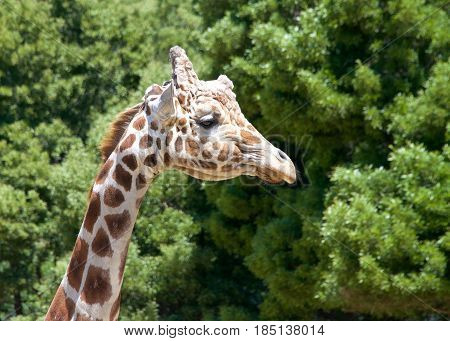 Portrait of a giraffe looking to viewers right. Tall green leafy trees in the background.