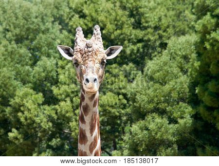Portrait of a giraffe looking directly at viewers. Tall green leafy trees in the background.