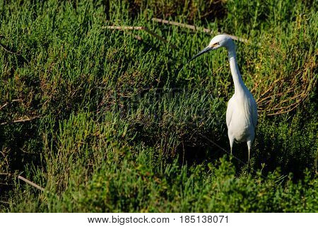 A Great White Egret (ardea alba) in tall green vegetation frame right looking right.