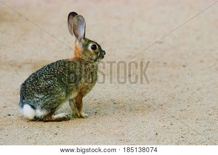 A cottontail rabbit facing right left side of frame with copy space.
