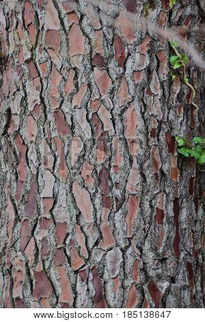 Close-up shot of bark of perennial centenary trunk pine tree