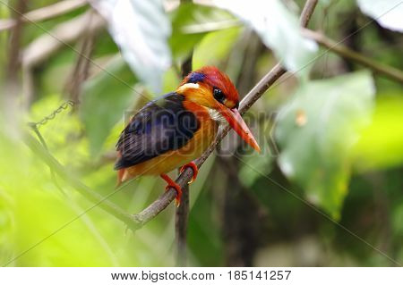 Oriental Dwarf Kingfisher Black backed Kingfisher Cute Birds of Thailand