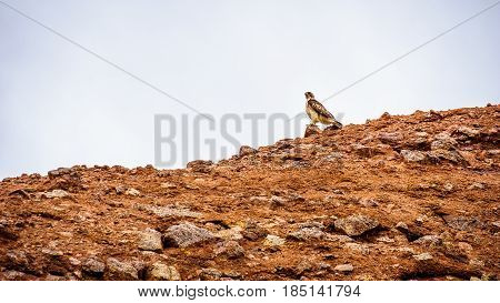 Peregrine Falcon resting on one of the Red Sandstone Buttes in Papago Park