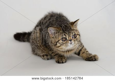 exotic shorthair cat on white background, Brown Spotted Tabby