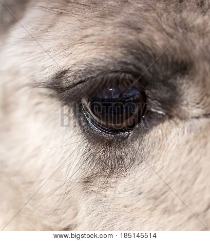 The eye of the llama in the zoo. macro