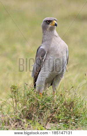 An Eastern pale chanting goshawk (Melierax poliopterus) looking surprised. Ol Pejeta Conservancy Kenya.