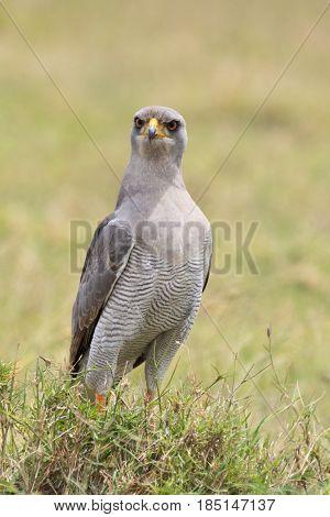 An angry-looking Eastern pale chanting goshawk (Melierax poliopterus). Ol Pejeta Conservancy Kenya.