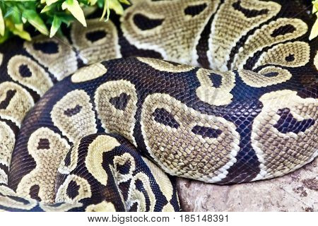 Photo of real boa snake python skin texture close up