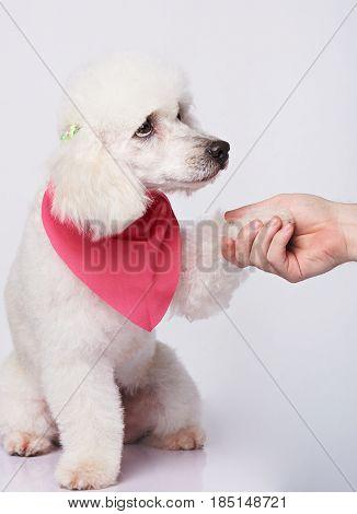 Sad White Poodle Giving Paw To Human