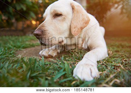 Close-up Of Sleeping Labrador Dog
