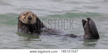 Curious Sea Otter (Enhydra lutris) floating in Monterey Bay of the Pacific Ocean. Moss Landaing State Beach, Monterey Bay, California, USA.