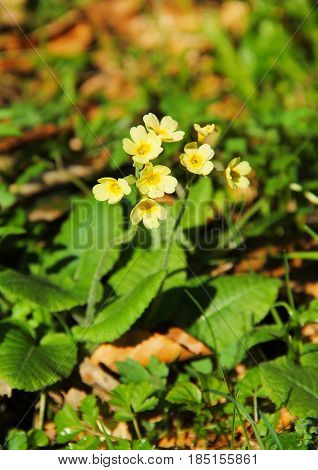 close photo of blooming cowslip primrose (Primula veris) in spring