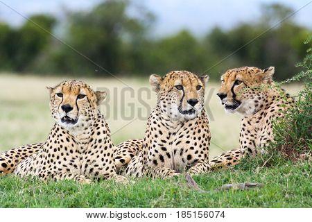 Three male cheetahs (Acinonyx jubatus) relax in the grass. Ol Pejeta Conservancy Kenya.